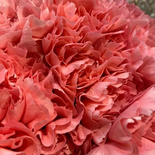 Carnation pink - thumb