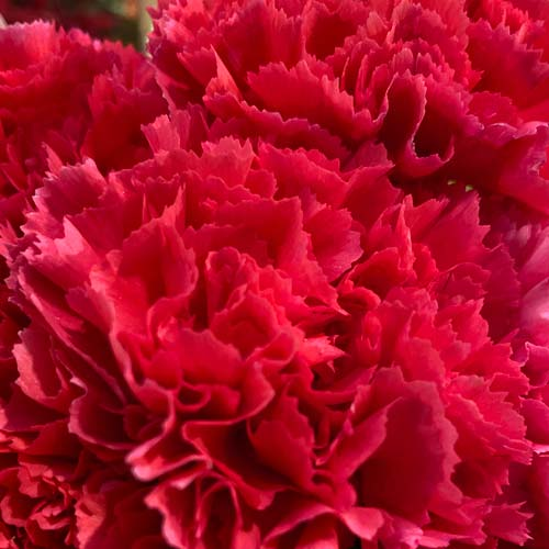 Carnation red -thumb