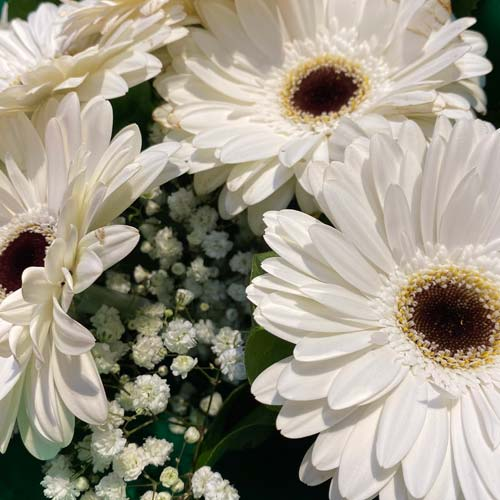 Gerbera White -thumb