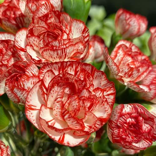 Mini-Carnation-Blush -thumb