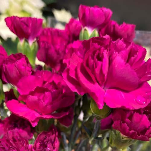 Mini-Carnation-Pink Thumb