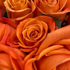 Orange Roses -thumb