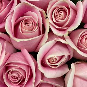 Pink Roses -thumb