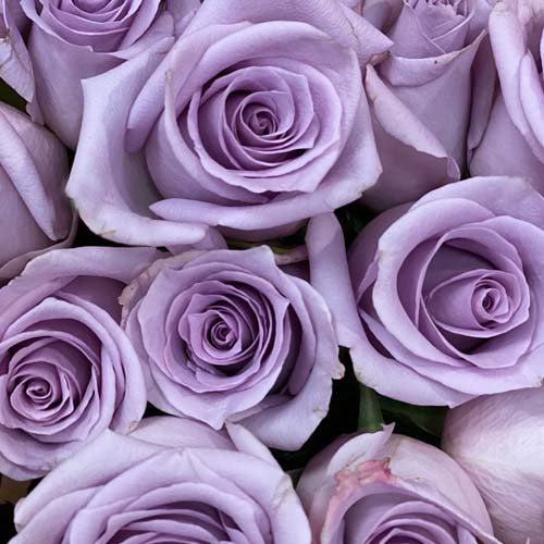 Purple Roses-thumb