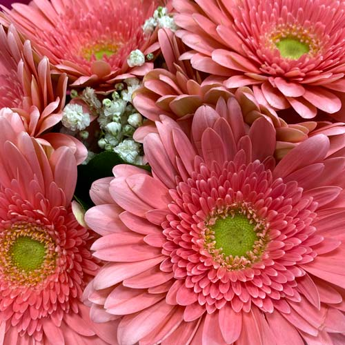 Gerbera blush -thumb