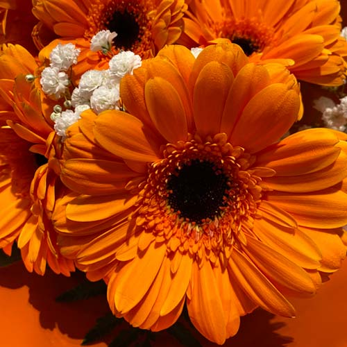 Gerbera orange-thumb