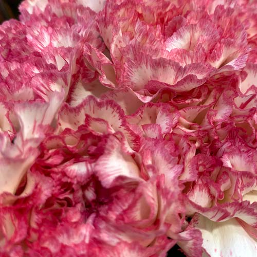 blush carnations